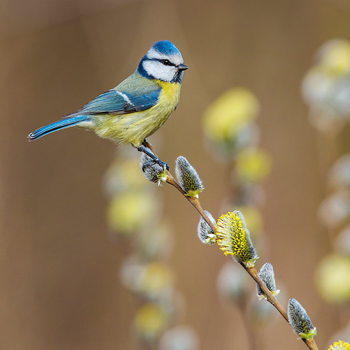 BRD 13 KH0052 01 © Kimball Stock Eurasian Blue Tit Perched On Willow Branch In Spring France