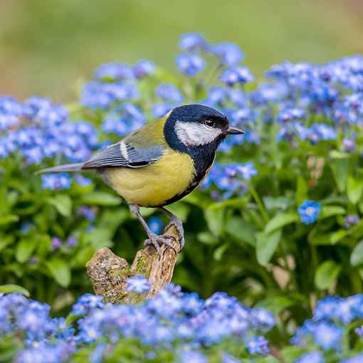 BRD 13 KH0053 01 © Kimball Stock Great Tit Perched In Garden By Forget-Me-Not Flowers France