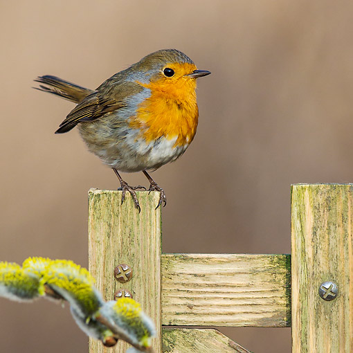 BRD 13 KH0055 01 © Kimball Stock Robin Perched On Wooden Fence In Spring France