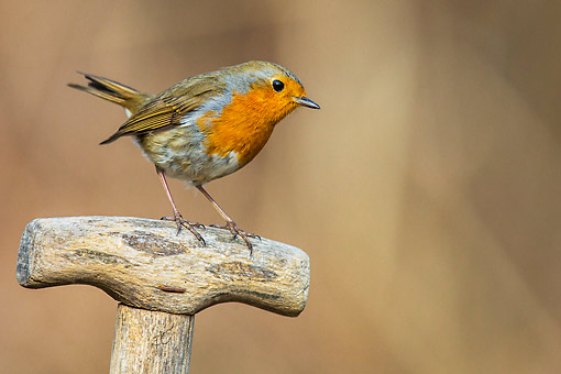 BRD 13 KH0056 01 © Kimball Stock Robin Perched On Spade Handle In Spring France