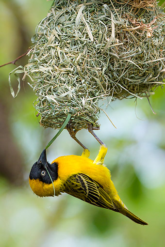 BRD 13 KH0057 01 © Kimball Stock Lesser Masked Weaver Making Nest In Botswana
