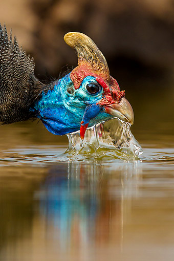 BRD 13 KH0064 01 © Kimball Stock Helmeted Guineafowl Drinking At Waterhole In Botswana