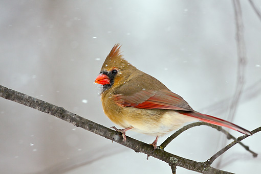 BRD 13 LS0006 01 © Kimball Stock Female Northern Cardinal Perched On Branch During Snow Storm