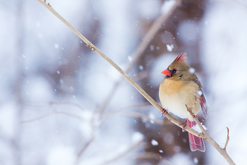 BRD 13 LS0007 01 © Kimball Stock Female Northern Cardinal Perched On Branch During Snow Storm