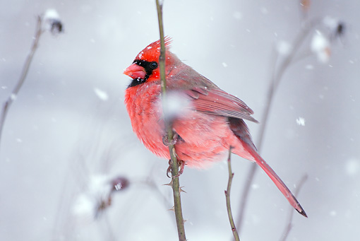 BRD 13 LS0008 01 © Kimball Stock Male Northern Cardinal Perched On Branch During Snowstorm