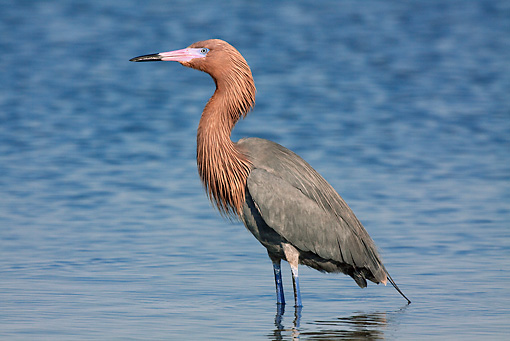 BRD 13 LS0010 01 © Kimball Stock Reddish Egret Standing In Salt Water Bay