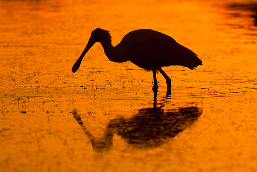 BRD 13 LS0011 01 © Kimball Stock Silhoutte Of Roseate Spoonbill Standing In Shallow Water At Dawn