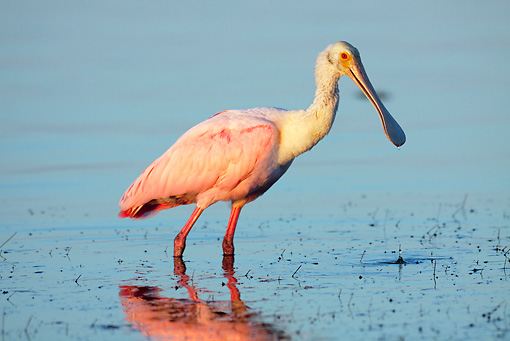 BRD 13 LS0012 01 © Kimball Stock Roseate Spoonbill Standing In Shallow Water At Dawn
