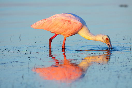 BRD 13 LS0013 01 © Kimball Stock Roseate Spoonbill Feeding In Shallow Water At Dawn