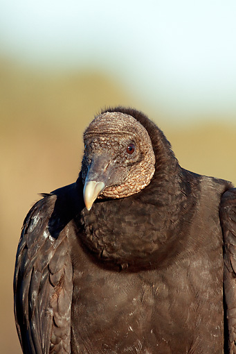 BRD 13 LS0014 01 © Kimball Stock Portrait Of Black Vulture In Early Morning