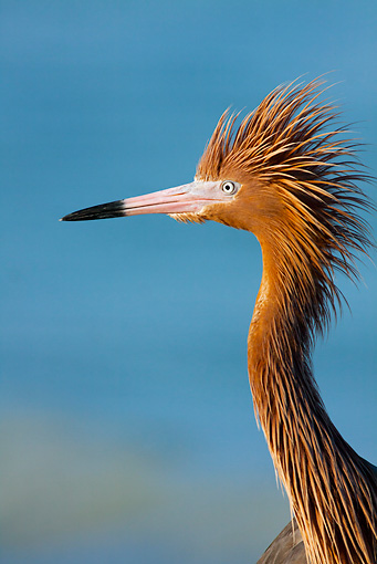BRD 13 LS0015 01 © Kimball Stock Head Shot Of Reddish Egret In Breeding Plumage On Beach