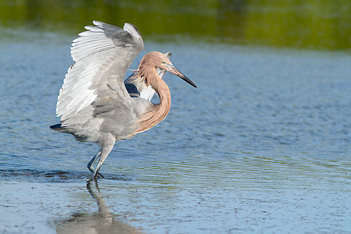 BRD 13 LS0016 01 © Kimball Stock Reddish Egret Hunting Minnows In Tampa Bay, Florida