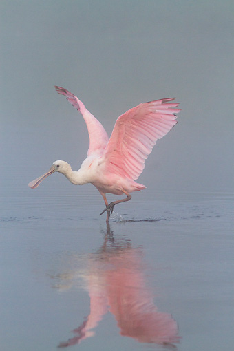 BRD 13 LS0019 01 © Kimball Stock Young Roseate Spoonbill Stretching Wings In Foggy Lake At Dawn Sarasota County, Florida