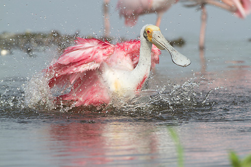 BRD 13 LS0022 01 © Kimball Stock Roseate Spoonbill In Breeding Plumage Bathing In Foggy Lake Sarasota County, Florida