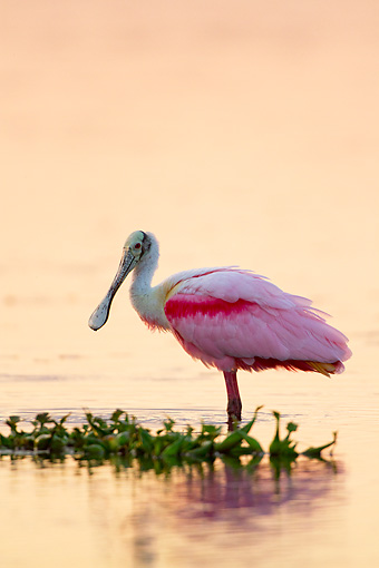 BRD 13 LS0024 01 © Kimball Stock Roseate Spoonbill In Breeding Plumage Wading In Lake At Sunset Sarasota County, Florida