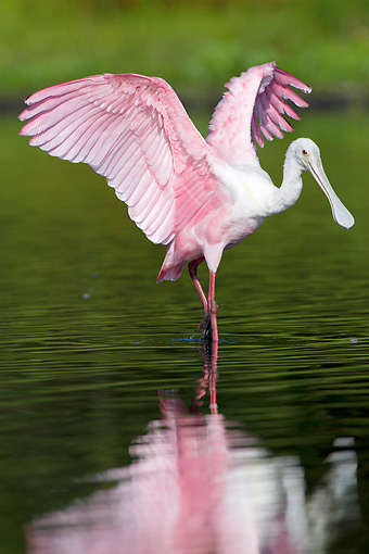BRD 13 LS0026 01 © Kimball Stock Young Roseate Spoonbill Stretching Wings In Shallow Lake Sarasota County, Florida