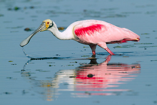 BRD 13 LS0027 01 © Kimball Stock Roseate Spoonbill In Breeding Plumage Foraging In Shallow Lake Sarasota County, Florida
