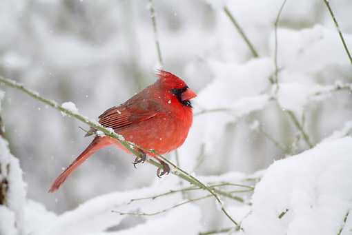BRD 13 LS0029 01 © Kimball Stock Northern Cardinal Male Perched On Branch In Snowstorm