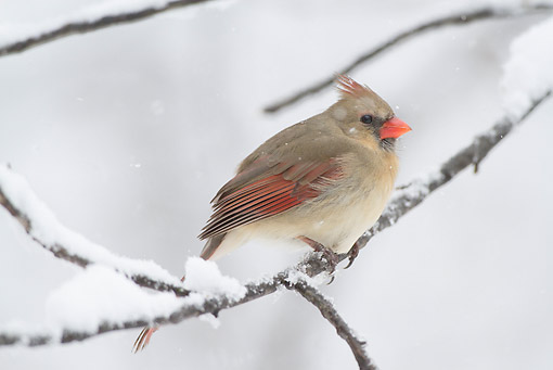 BRD 13 LS0030 01 © Kimball Stock Northern Cardinal Female Perched On Branch In Snowstorm