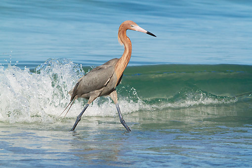BRD 13 LS0033 01 © Kimball Stock Reddish Egret Hunting Small Marine Fish At Edge Of Surf Tampa Bay, Florida