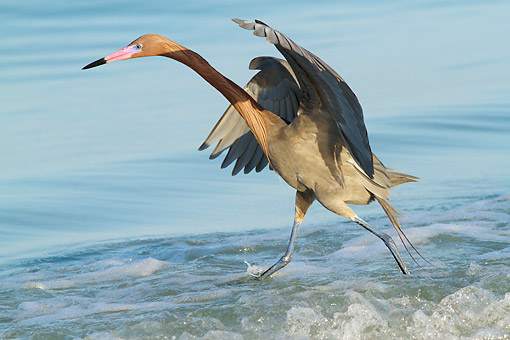 BRD 13 LS0034 01 © Kimball Stock Reddish Egret In Breeding Plumage Chasing Small Marine Fish In Surfline Of Tampa Bay, Florida