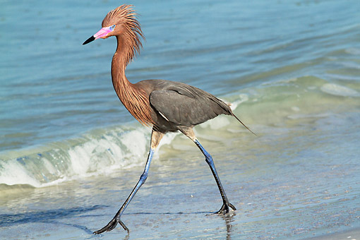 BRD 13 LS0036 01 © Kimball Stock Reddish Egret In Breeding Plumage Chasing Small Marine Fish In Surfline Of Tampa Bay, Florida
