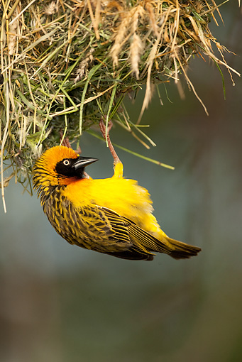 BRD 13 MC0004 01 © Kimball Stock Portrait Of Speke's Masked Weaver Clinging To Brush