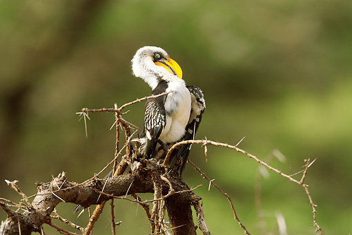BRD 13 MC0008 01 © Kimball Stock Yellow-Billed Hornbill Female Perched On Tree Branch Kenya