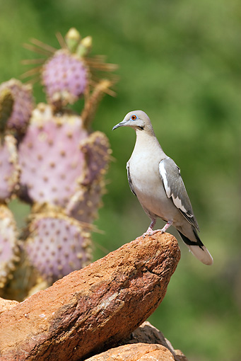 BRD 13 MC0013 01 © Kimball Stock White-Winged Dove Perched On Rock Arizona