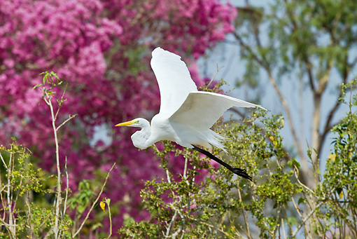 BRD 13 MC0016 01 © Kimball Stock Great Egret Flying Near Trees And Pink Blossoms Brazil