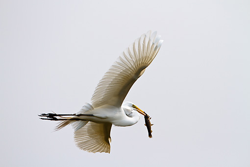 BRD 13 MC0017 01 © Kimball Stock Great Egret Flying With Fish In Bill Brazil