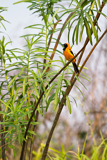 BRD 13 MC0020 01 © Kimball Stock Orange-Backed Troupial Perched In Tree Brazil