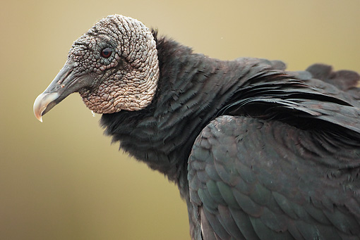 BRD 13 MC0022 01 © Kimball Stock Close-Up Of Black Vulture At Anhinga Trail Everglades