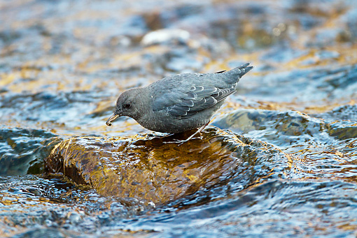 BRD 13 MC0024 01 © Kimball Stock American Dipper AKA Water Ouzel Fishing For Insects Yellowstone National Park