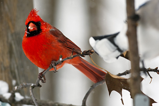 BRD 13 MC0028 01 © Kimball Stock Northern Cardinal Male Perched On Snowy Twig