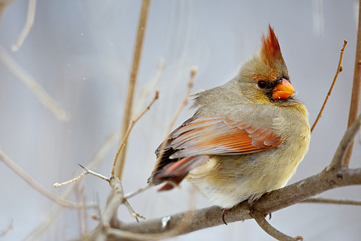 BRD 13 MC0030 01 © Kimball Stock Northern Cardinal Female Perched On Snowy Twig