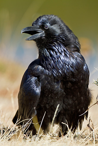 BRD 13 MC0032 01 © Kimball Stock Common Raven Sunning On Dry Grass Yellowstone National Park