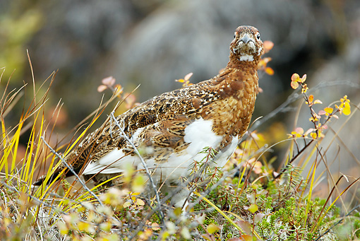 BRD 13 MC0033 01 © Kimball Stock Willow Ptarmigan Sitting On Ground Yellowstone National Park