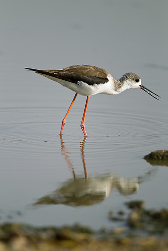 BRD 13 MC0038 01 © Kimball Stock Black-Winged Stilt Wading In Shallow Water Tanzania