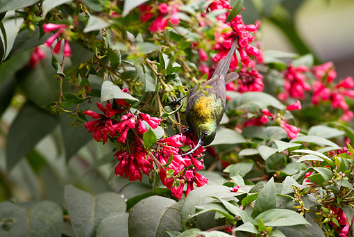BRD 13 MC0039 01 © Kimball Stock Bronze Sunbird Feeding On Nectar From Flowers Rwanda