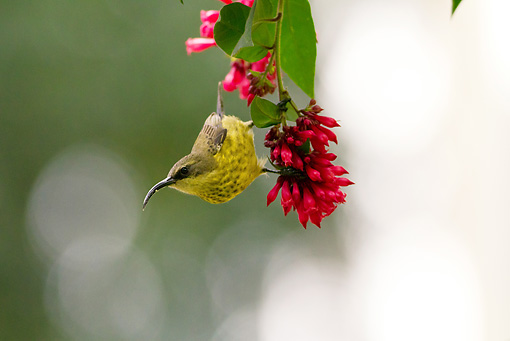 BRD 13 MC0040 01 © Kimball Stock Bronze Sunbird Feeding On Red Flowers Rwanda
