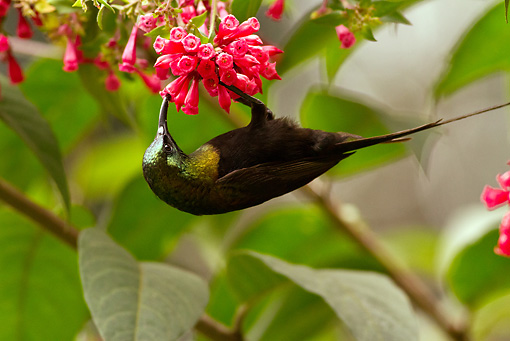 BRD 13 MC0041 01 © Kimball Stock Bronze Sunbird Feeding On Nectar From Flowers Rwanda