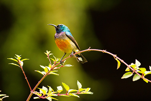 BRD 13 MC0043 01 © Kimball Stock Variable Sunbird Perched On Twig Rwanda