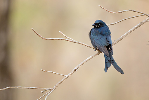 BRD 13 MC0044 01 © Kimball Stock Black Drongo Perched On Twig Satpura National Park In Madhyda Pradesh, India