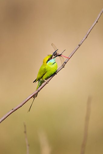 BRD 13 MC0045 01 © Kimball Stock Green Bee-Eater Eating Insect On Twig Kanha National Park In Madhya Pradesh, India