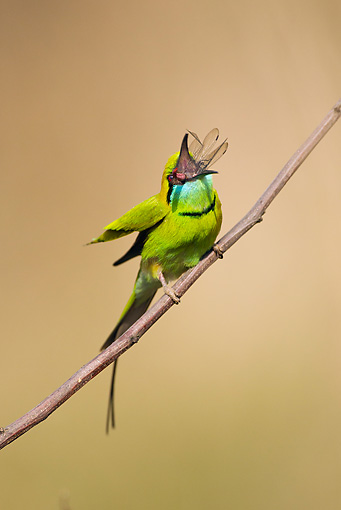 BRD 13 MC0046 01 © Kimball Stock Green Bee-Eater Eating Insect On Twig Kanha National Park In Madhya Pradesh, India