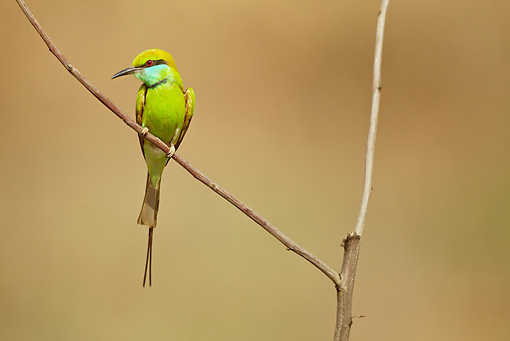 BRD 13 MC0048 01 © Kimball Stock Green Bee-Eater Perched On Twig Kanha National Park, India