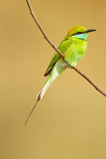 BRD 13 MC0049 01 © Kimball Stock Green Bee-Eater Perched On Twig Kanha National Park, India