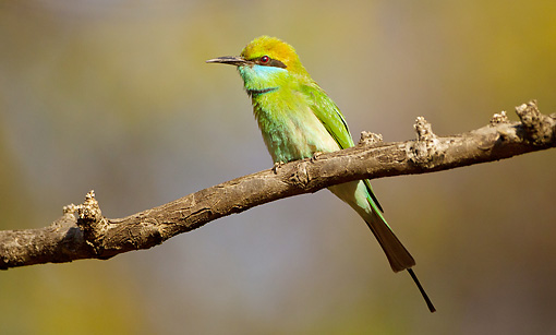 BRD 13 MC0050 01 © Kimball Stock Green Bee-Eater Perched On Branch Saptura National Park, Madhya Pradesh, India