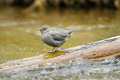 BRD 13 MC0054 01 © Kimball Stock American Dipper Standing On Log In Pebble Creek Yellowstone National Park